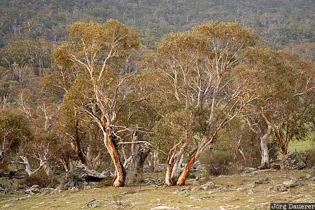 Australia, New South Wales, Kosciuszko National Park, red, tree, snow gum, bark