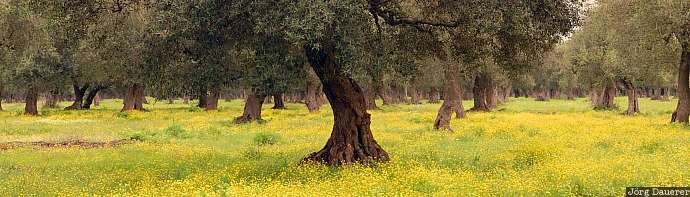olive, olive trees, flowers, Salento, Apulia, Italy, flowering meadow