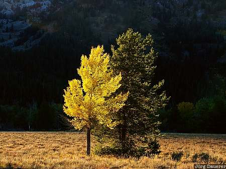 autumn colors, indian summer, leaves, fall colors, colorful tree, Grand Teton National Park, Wyoming